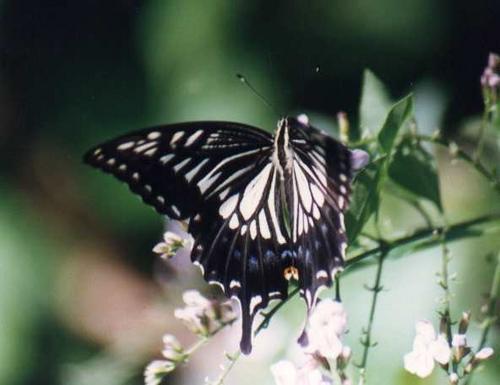 common_yellow_swallowtail.jpg